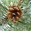 Prírodná silica borovica