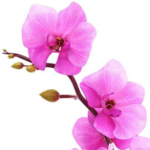 Vôňa do mydla ruža a orchidea